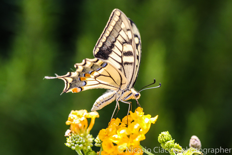 corsi fotografia, fotografia relativa a  una farfalla gialla